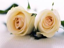 Roses blanches